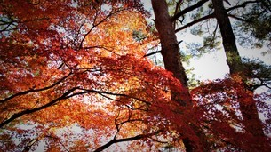 秩父の紅葉の写真素材 [FYI01243744]