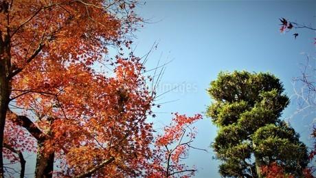 秩父の紅葉の写真素材 [FYI01243751]