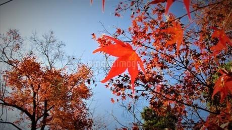 秩父の紅葉の写真素材 [FYI01243752]