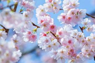 桜の写真素材 [FYI01243768]