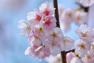 桜の写真素材 [FYI01243769]