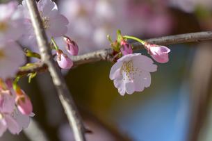 桜の写真素材 [FYI01243770]