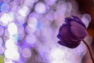 夜の花の写真素材 [FYI01243772]