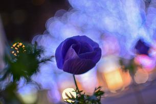 夜の花の写真素材 [FYI01243773]
