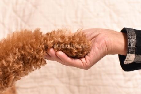 トイプードルと握手の写真素材 [FYI01243861]