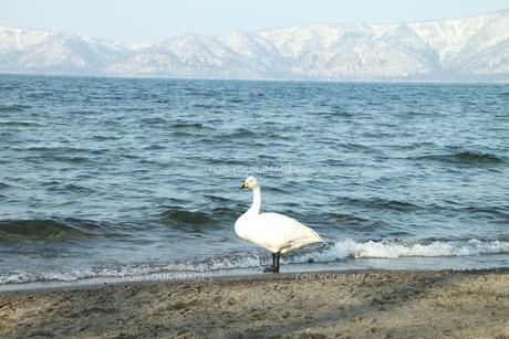 屈斜路湖の白鳥の写真素材 [FYI01243865]