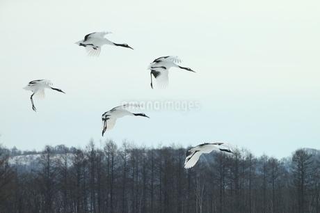 5羽のタンチョウの写真素材 [FYI01243872]
