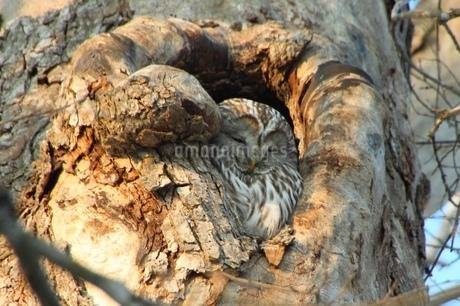 寝ているフクロウの写真素材 [FYI01243874]