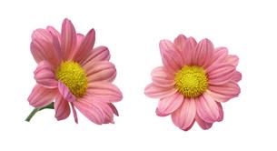 菊の写真素材 [FYI01243961]