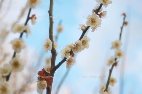 青空に映える早春の梅の花の写真素材 [FYI01244041]