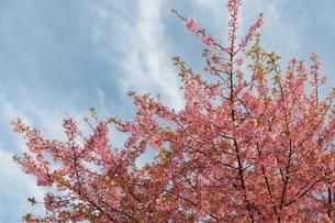 青空と白い雲と一本の河津桜の写真素材 [FYI01244062]