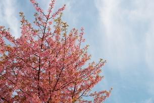 青空と白い雲と一本の河津桜の写真素材 [FYI01244063]