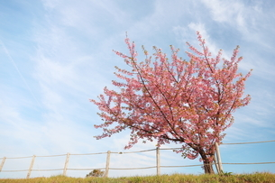 青空と白い雲と一本の河津桜の写真素材 [FYI01244066]