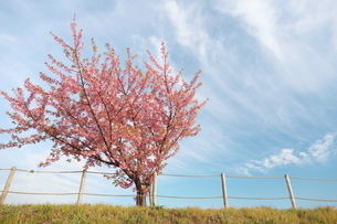 青空と白い雲と一本の河津桜の写真素材 [FYI01244068]