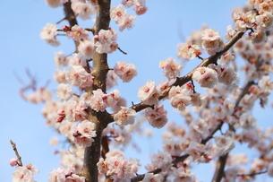 青空に映える早春の梅の花の写真素材 [FYI01244077]