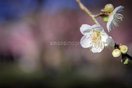 梅の写真素材 [FYI01244156]