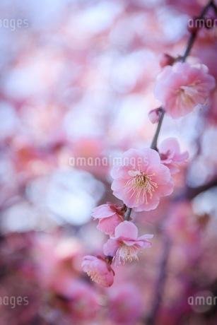 梅の写真素材 [FYI01244157]