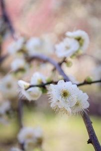 梅の写真素材 [FYI01244158]