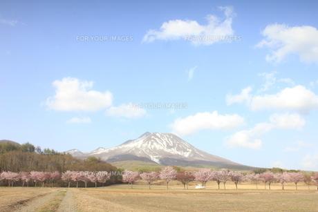 桜並木と山の写真素材 [FYI01244179]