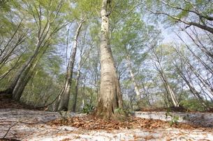 ぶな林と残雪の写真素材 [FYI01244180]
