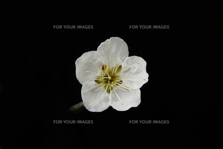 梅の花,黒バックの写真素材 [FYI01244302]