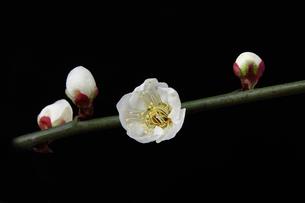 梅の花,黒バックの写真素材 [FYI01244303]