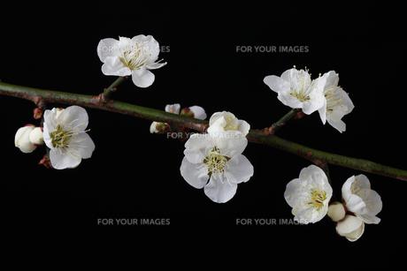 梅の花,黒バックの写真素材 [FYI01244304]