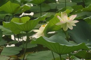 蓮の花の写真素材 [FYI01244454]