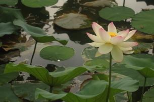 蓮の花の写真素材 [FYI01244455]