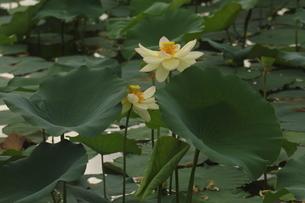 蓮の花の写真素材 [FYI01244456]