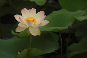 蓮の花の写真素材 [FYI01244457]