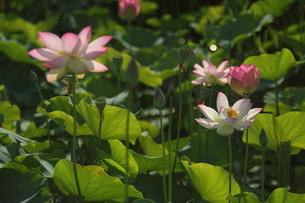 蓮の花の写真素材 [FYI01244458]
