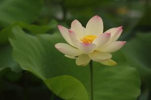 蓮の花の写真素材 [FYI01244459]