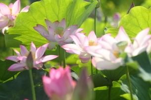 蓮の花の写真素材 [FYI01244463]