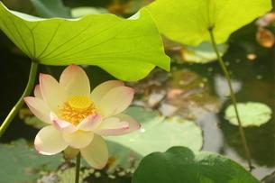 蓮の花の写真素材 [FYI01244464]