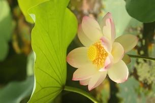 蓮の花の写真素材 [FYI01244465]