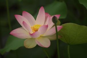 蓮の花の写真素材 [FYI01244466]
