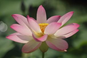 蓮の花の写真素材 [FYI01244468]
