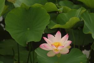 蓮の花の写真素材 [FYI01244469]