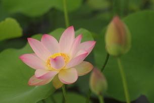 蓮の花の写真素材 [FYI01244470]