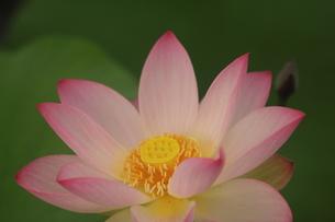 蓮の花の写真素材 [FYI01244471]