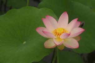 蓮の花の写真素材 [FYI01244472]