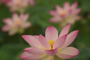 蓮の花の写真素材 [FYI01244475]