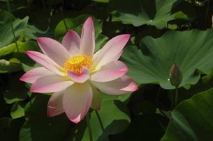 蓮の花の写真素材 [FYI01244476]