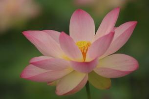 蓮の花の写真素材 [FYI01244477]