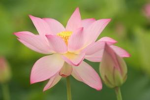蓮の花の写真素材 [FYI01244482]