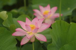 蓮の花の写真素材 [FYI01244485]