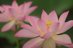 蓮の花の写真素材 [FYI01244487]