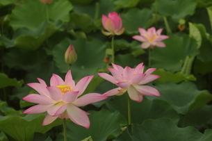 蓮の花の写真素材 [FYI01244488]
