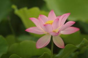 蓮の花の写真素材 [FYI01244489]